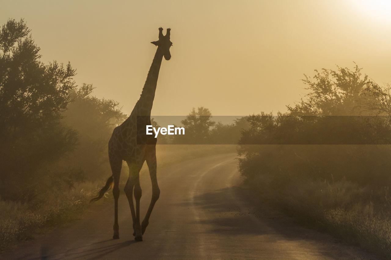 Giraffe standing on road against sky during sunset