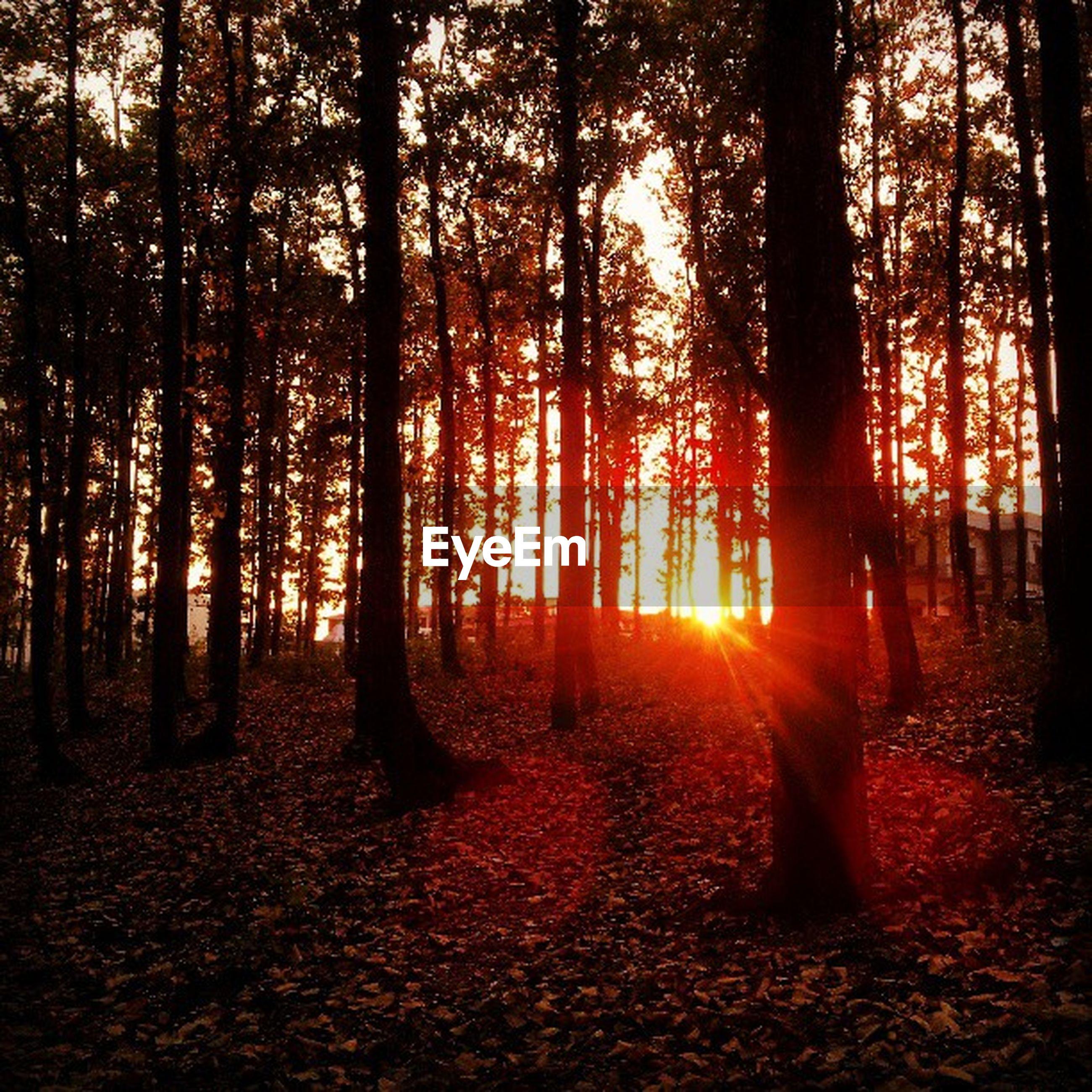 tree, forest, tranquility, tranquil scene, nature, tree trunk, orange color, beauty in nature, scenics, sunlight, woodland, growth, sunset, autumn, sun, sunbeam, non-urban scene, landscape, idyllic, change