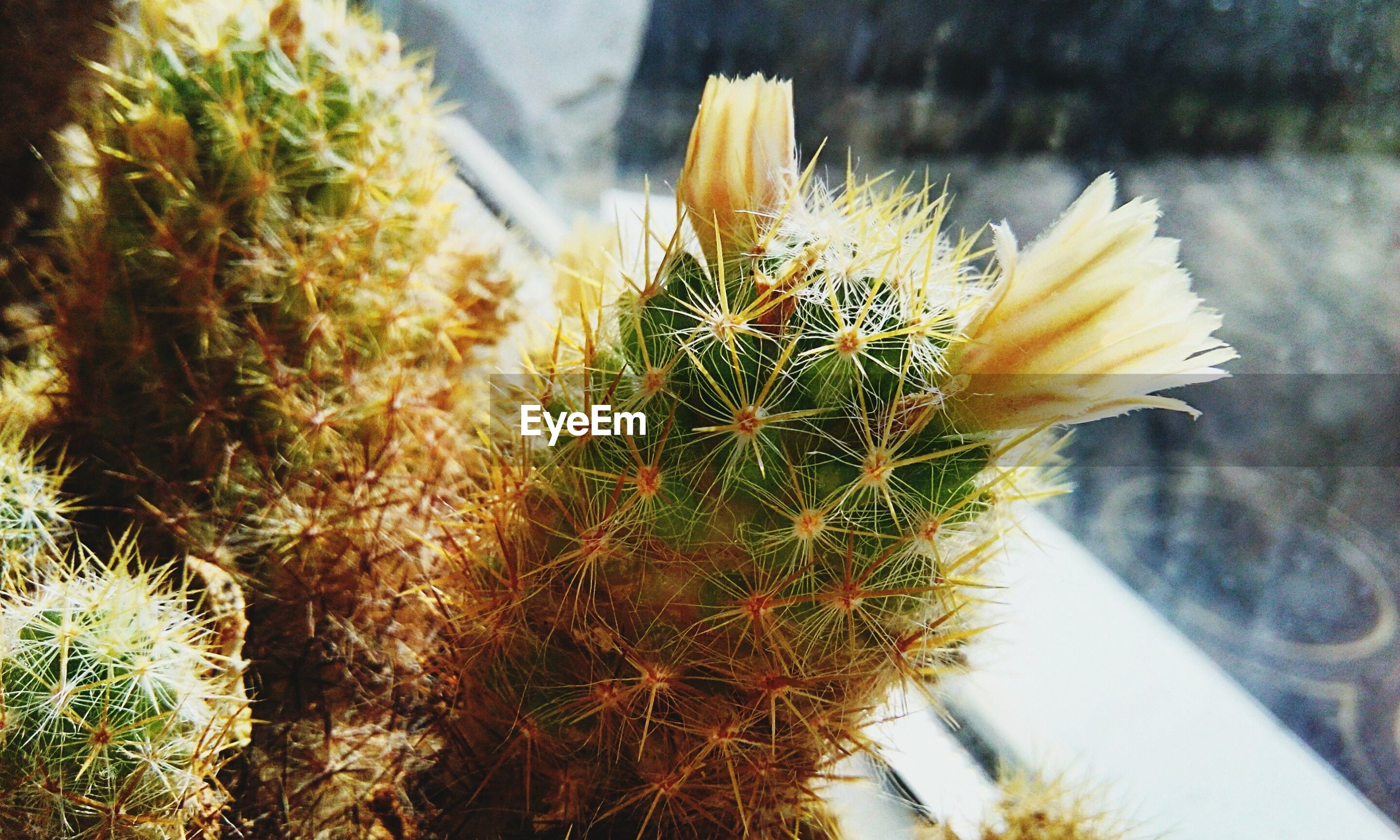 plant, succulent plant, cactus, flowering plant, flower, growth, close-up, beauty in nature, nature, freshness, thorn, focus on foreground, fragility, no people, day, spiked, vulnerability, flower head, inflorescence, potted plant, outdoors, spiky