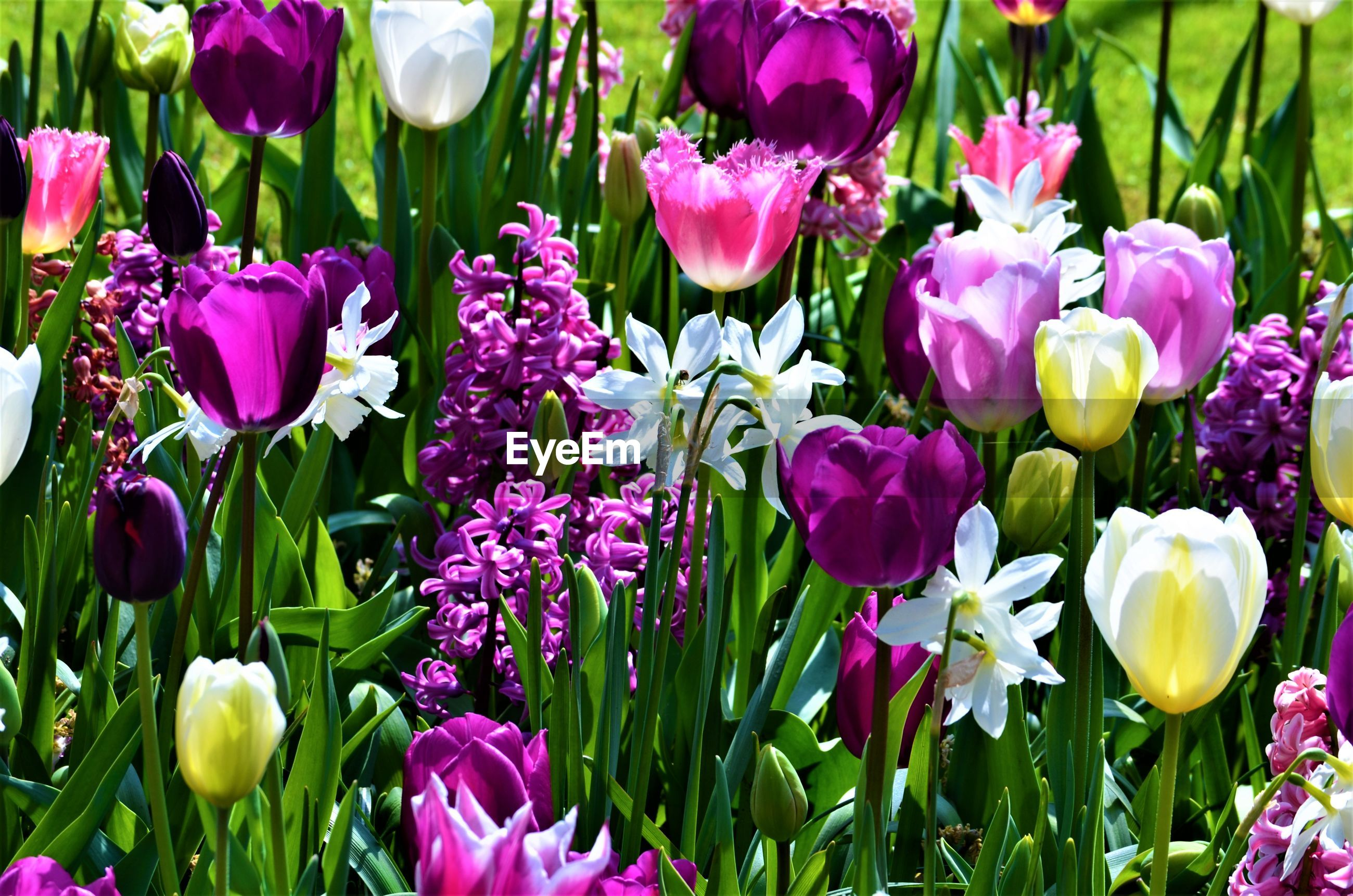 CLOSE-UP OF PURPLE TULIP FLOWERS IN BLOOM