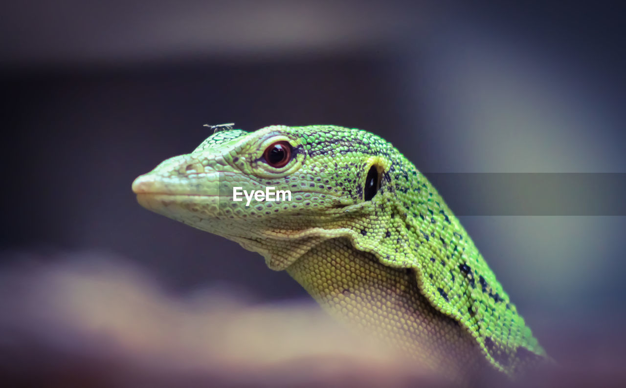 animal themes, animal, animal wildlife, reptile, one animal, animals in the wild, lizard, close-up, vertebrate, selective focus, no people, animal body part, focus on foreground, day, nature, bearded dragon, animal head, side view, natural pattern, outdoors, animal scale, animal eye