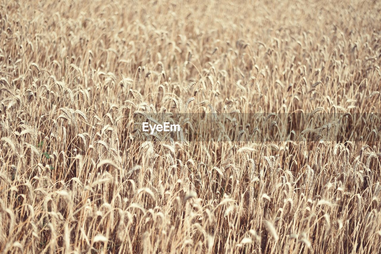 Full frame shot of barley field