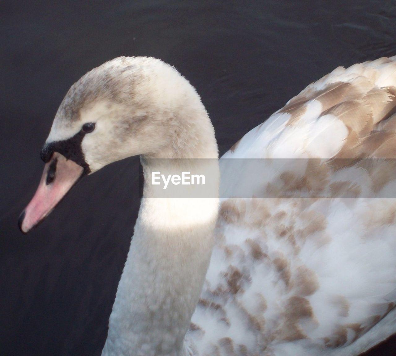 animal themes, animals in the wild, one animal, swan, bird, animal wildlife, beak, water bird, white color, swimming, nature, close-up, day, no people, lake, outdoors, water