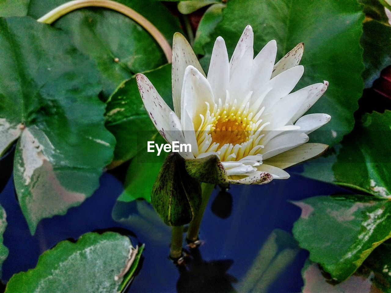 flowering plant, flower, plant, leaf, plant part, fragility, beauty in nature, vulnerability, petal, growth, freshness, close-up, flower head, inflorescence, water, pollen, nature, white color, no people, pond, floating on water, purple