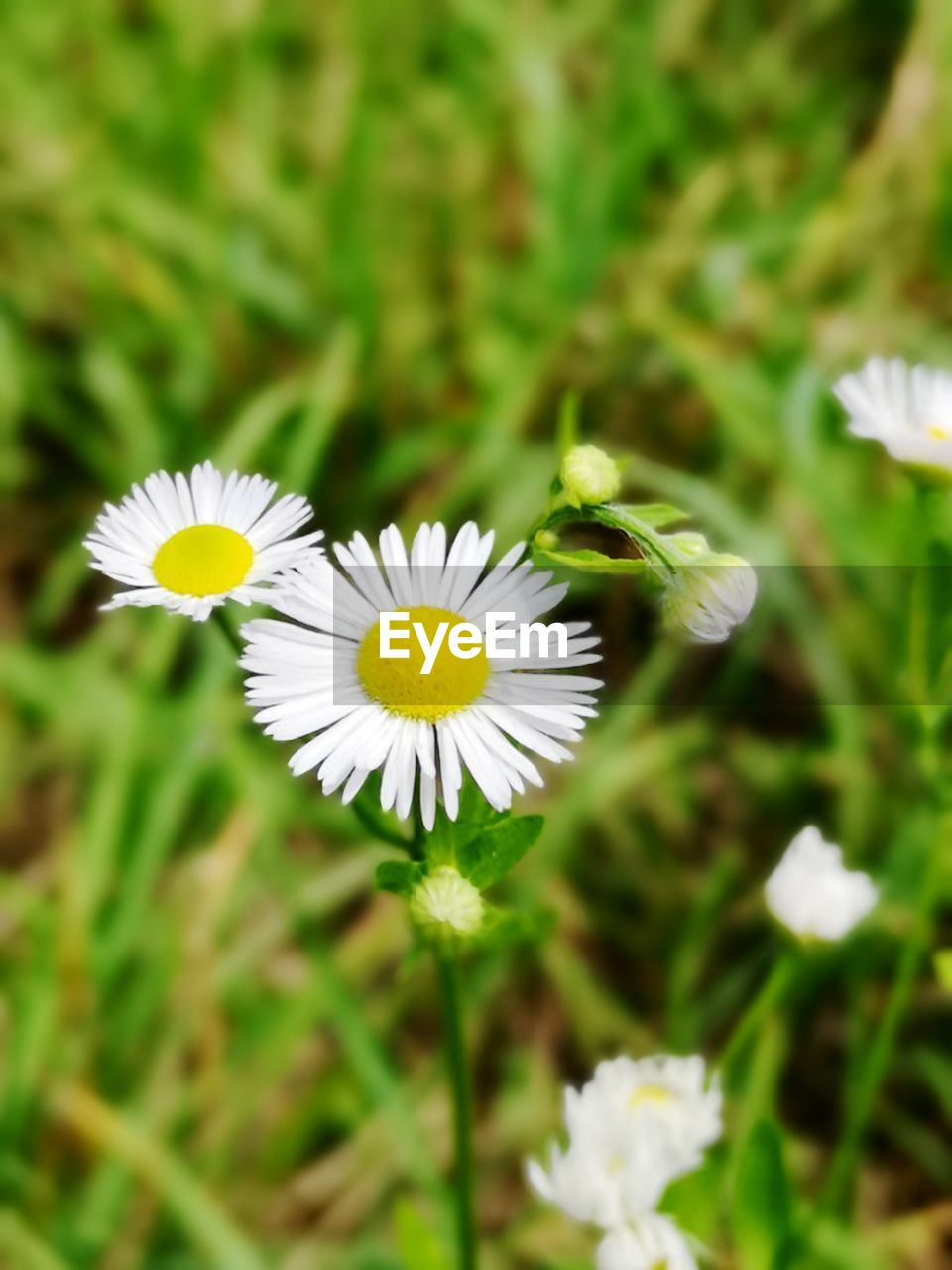flower, flowering plant, fragility, vulnerability, plant, freshness, petal, beauty in nature, white color, growth, flower head, close-up, inflorescence, focus on foreground, daisy, day, no people, nature, pollen, yellow