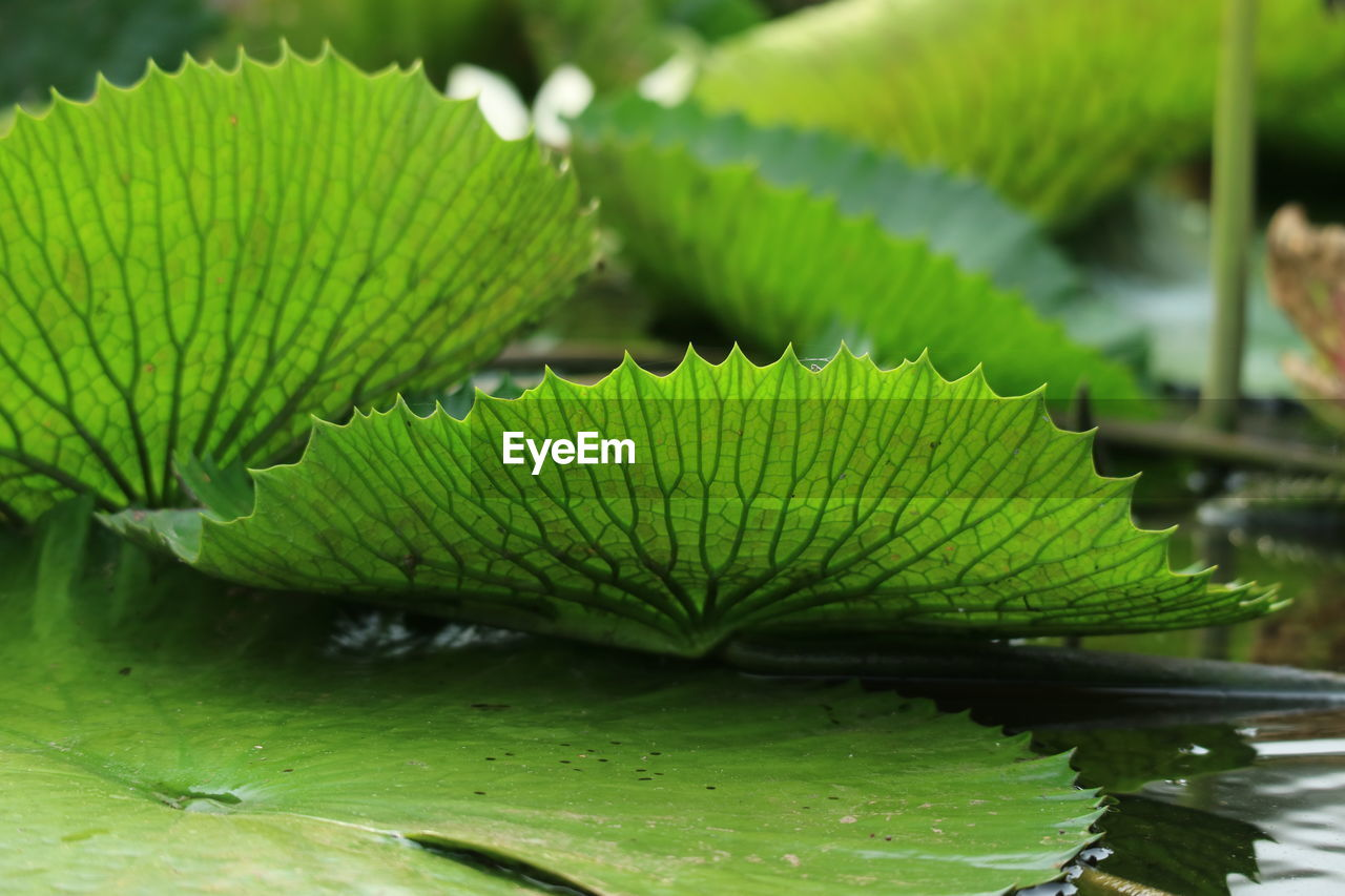 green color, leaf, plant part, plant, growth, nature, water, beauty in nature, close-up, no people, day, selective focus, water lily, natural pattern, focus on foreground, pond, outdoors, tranquility, leaves