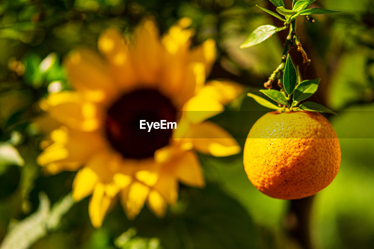 fruit, food, healthy eating, food and drink, freshness, plant, citrus fruit, growth, focus on foreground, yellow, wellbeing, no people, close-up, nature, tree, leaf, plant part, fruit tree, outdoors, orange color, orange, ripe