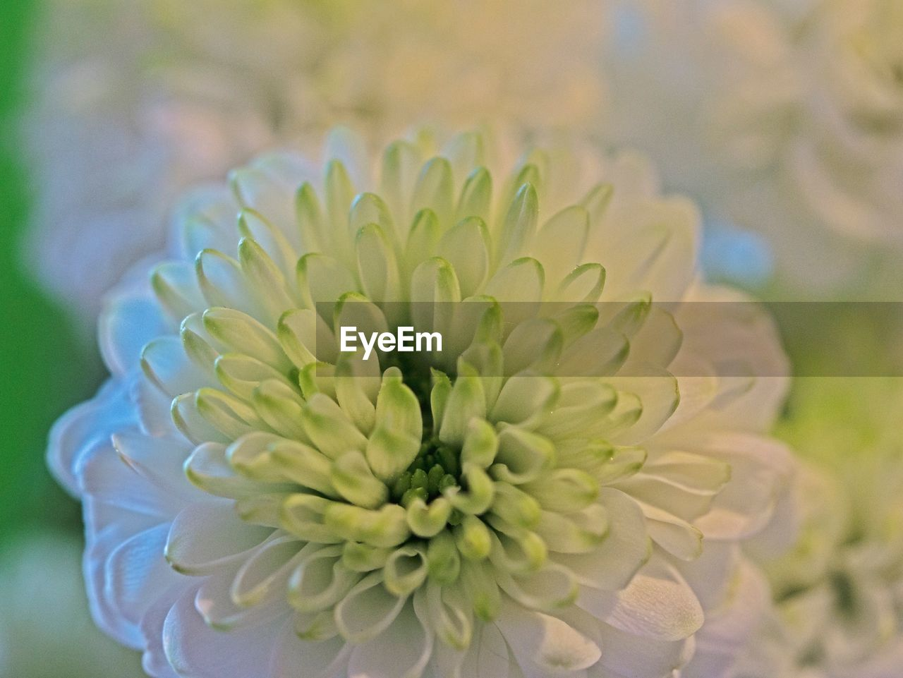 flower, flowering plant, beauty in nature, plant, inflorescence, flower head, freshness, fragility, petal, growth, close-up, vulnerability, nature, focus on foreground, no people, day, white color, selective focus, botany