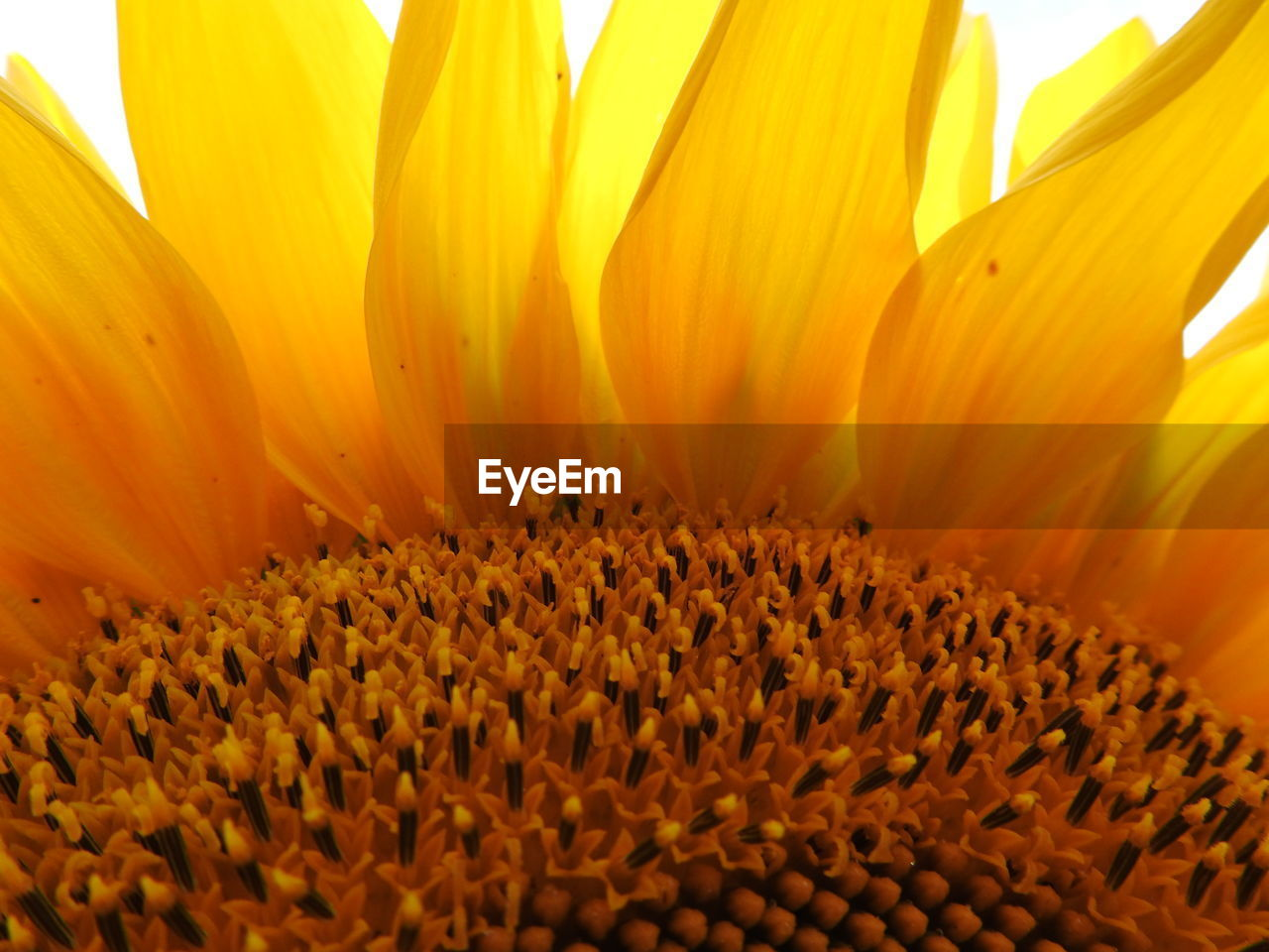 petal, flower head, plant, growth, inflorescence, fragility, freshness, yellow, vulnerability, flowering plant, beauty in nature, flower, close-up, no people, pollen, nature, extreme close-up, day, full frame, sunflower, soft focus