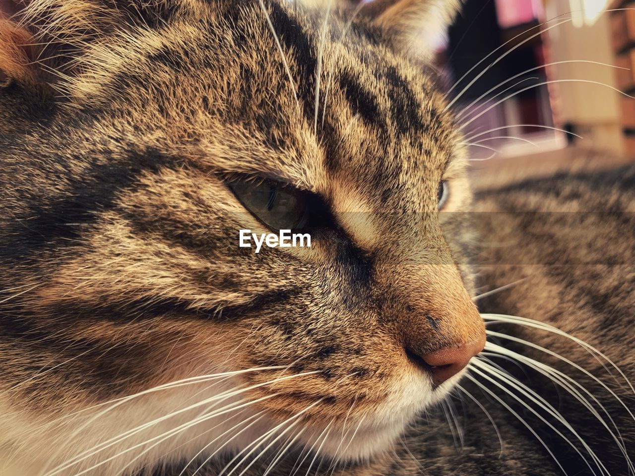 mammal, cat, feline, animal, animal themes, domestic animals, pets, domestic, one animal, domestic cat, vertebrate, whisker, close-up, no people, looking away, looking, animal body part, animal head, focus on foreground, relaxation, tabby, snout, animal eye