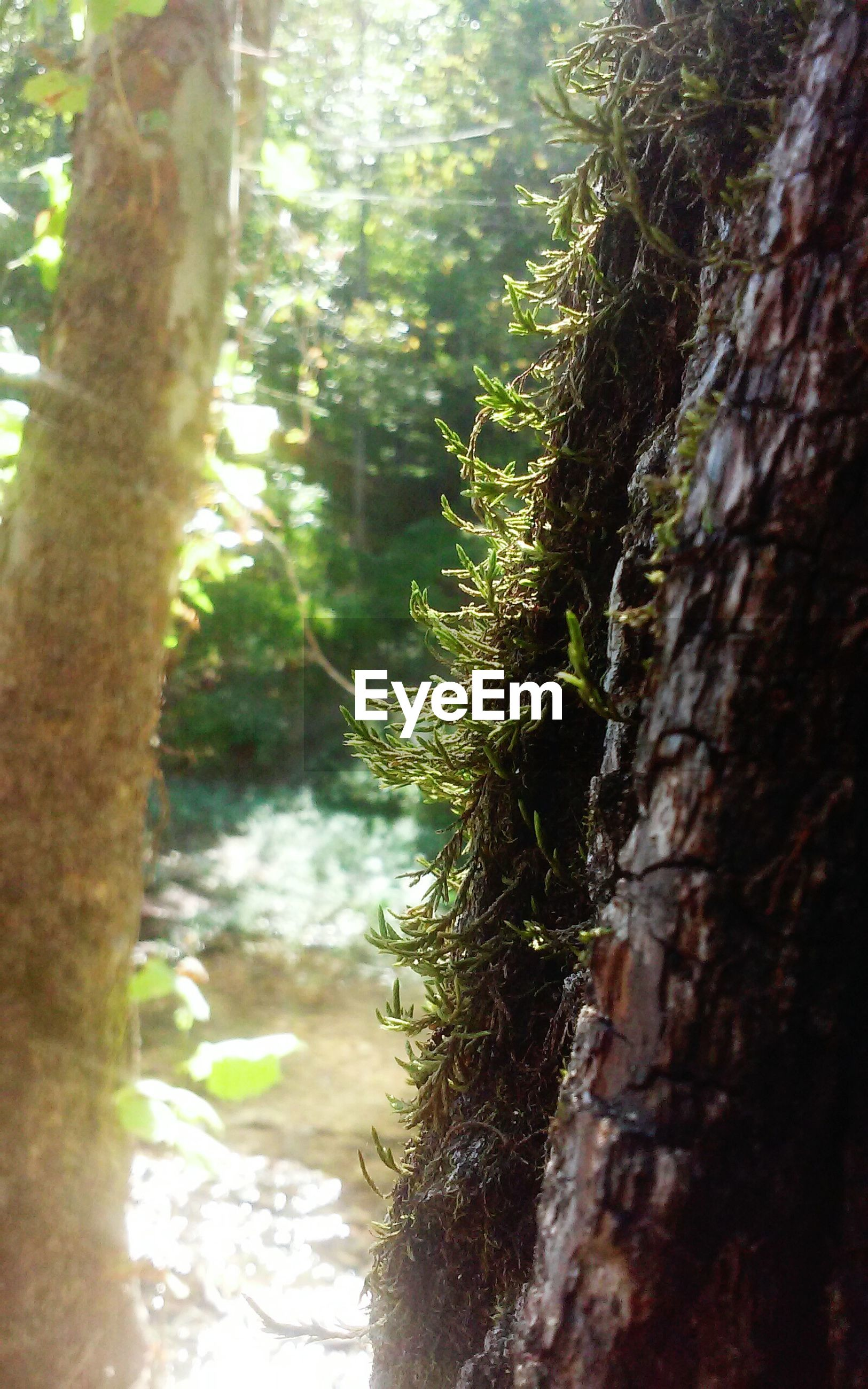 tree trunk, tree, nature, growth, day, no people, forest, focus on foreground, tranquility, outdoors, green color, beauty in nature, moss, close-up