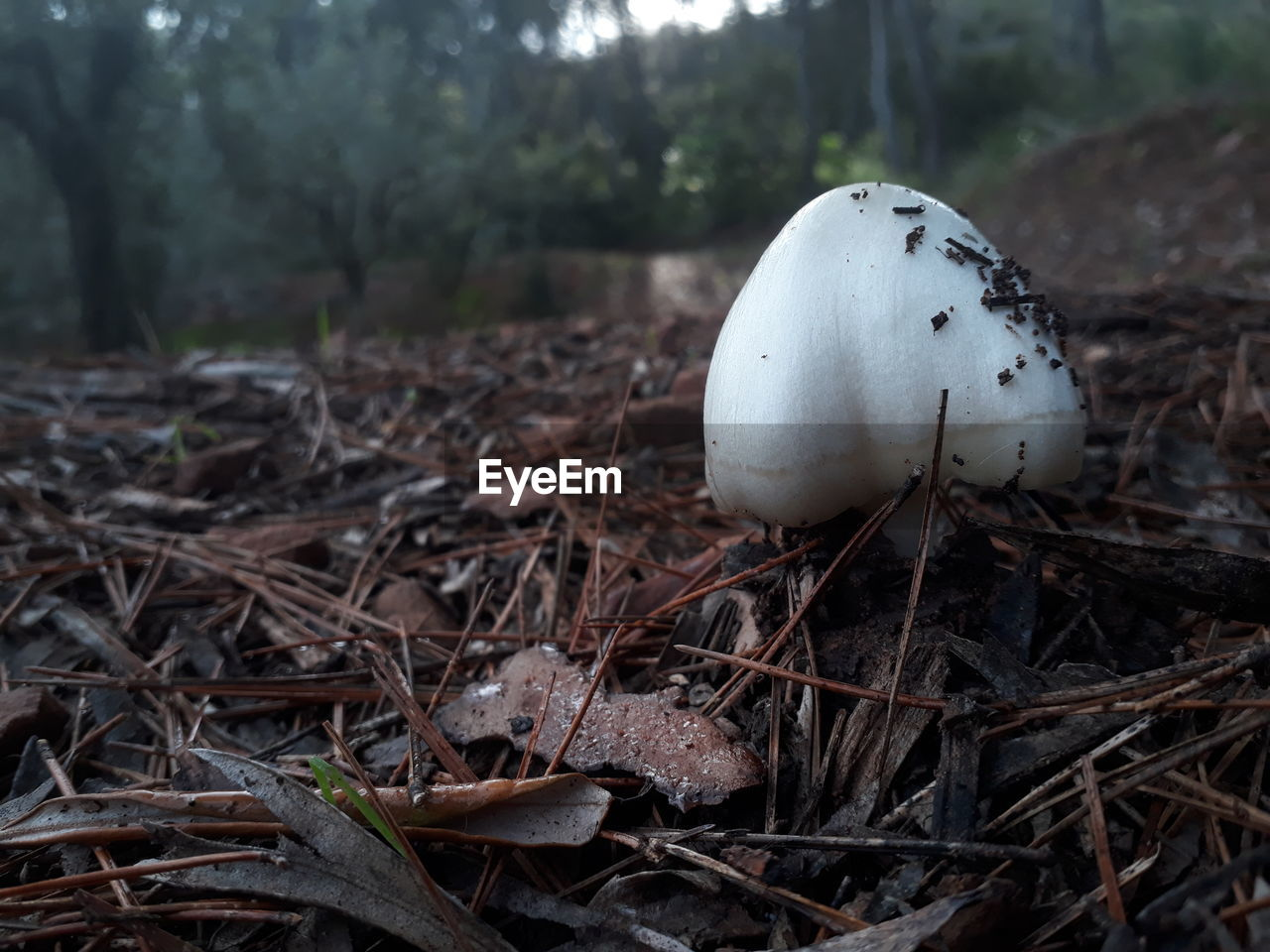 land, mushroom, food, fungus, toadstool, nature, field, no people, close-up, plant, vegetable, focus on foreground, day, growth, food and drink, fragility, vulnerability, outdoors, edible mushroom, white color
