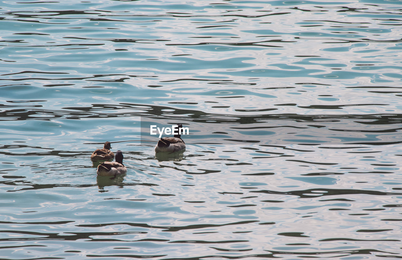 animal themes, animal, vertebrate, bird, animal wildlife, water, animals in the wild, group of animals, lake, swimming, waterfront, two animals, nature, no people, day, water bird, poultry, duck, outdoors, animal family
