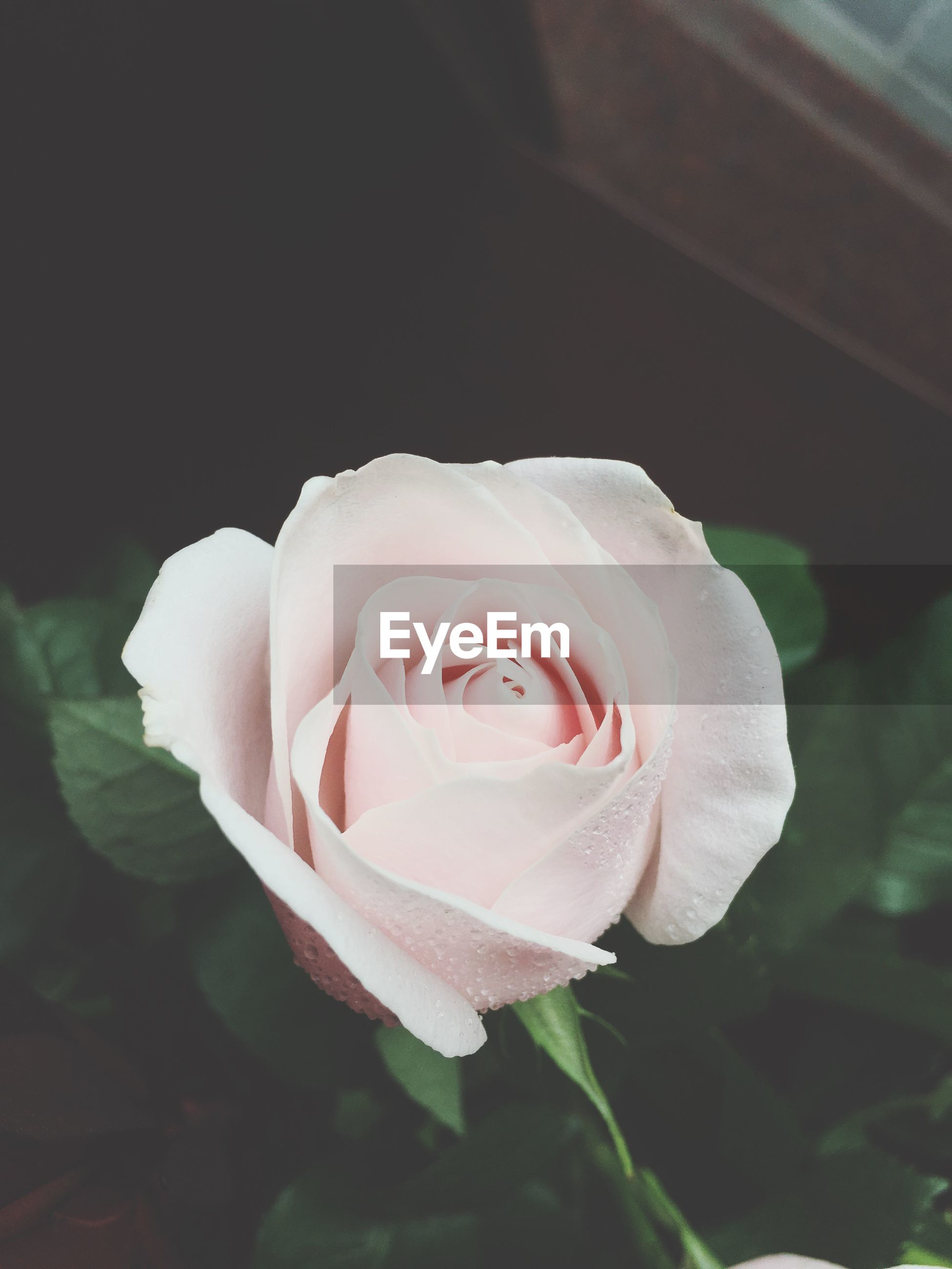 flower, petal, rose - flower, flower head, fragility, freshness, rose, beauty in nature, close-up, single flower, growth, single rose, blooming, pink color, nature, focus on foreground, in bloom, leaf, plant, white color
