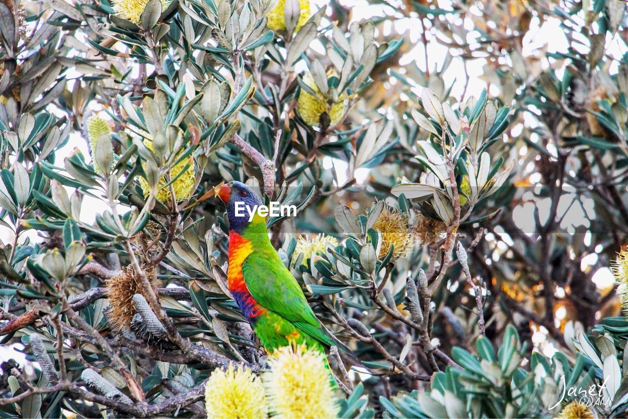 bird, vertebrate, animal themes, animal, animals in the wild, perching, animal wildlife, branch, tree, plant, one animal, plant part, leaf, day, no people, nature, focus on foreground, growth, rainbow lorikeet, outdoors