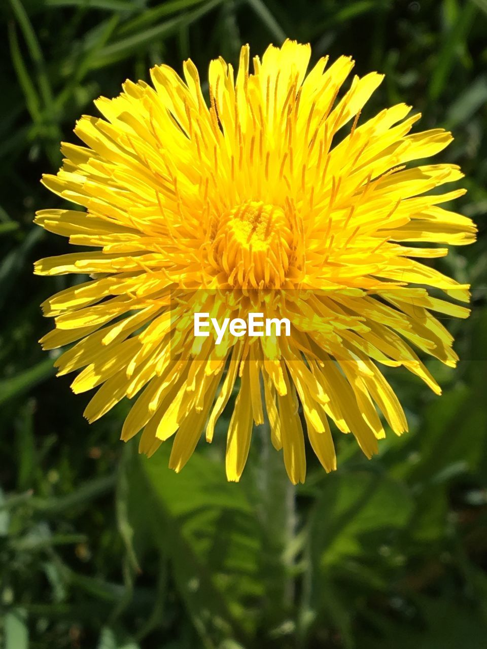 flower, flowering plant, yellow, plant, vulnerability, fragility, freshness, petal, beauty in nature, flower head, growth, inflorescence, close-up, focus on foreground, nature, no people, day, dandelion, land, outdoors, pollen