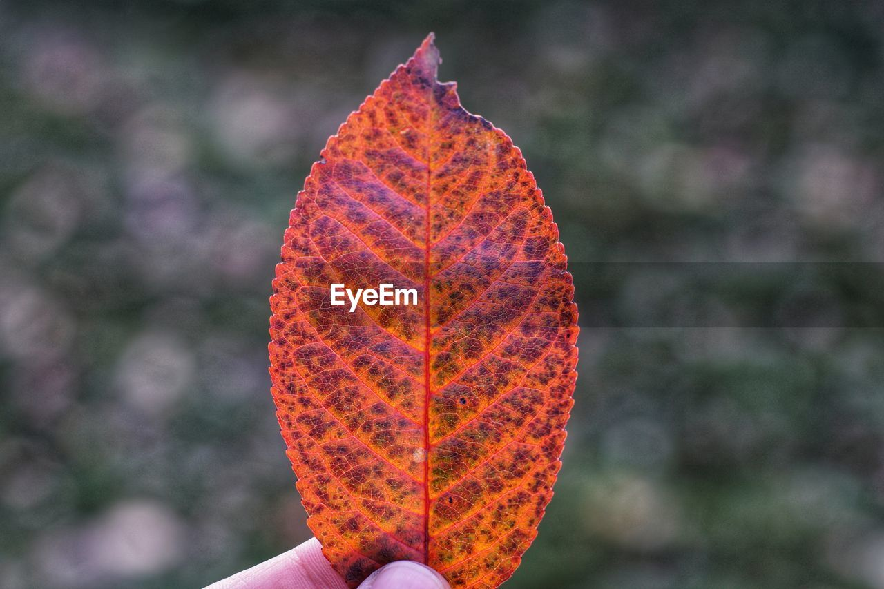 autumn, leaf, change, day, outdoors, orange color, nature, one person, real people, maple leaf, focus on foreground, beauty in nature, close-up, maple, people