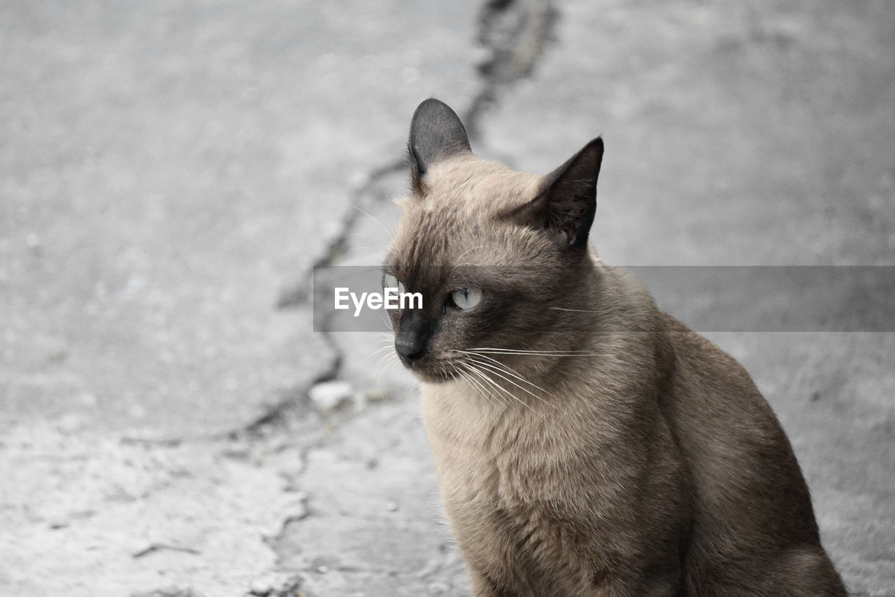 one animal, domestic animals, mammal, domestic, pets, cat, feline, domestic cat, vertebrate, focus on foreground, looking away, day, city, street, no people, looking, whisker