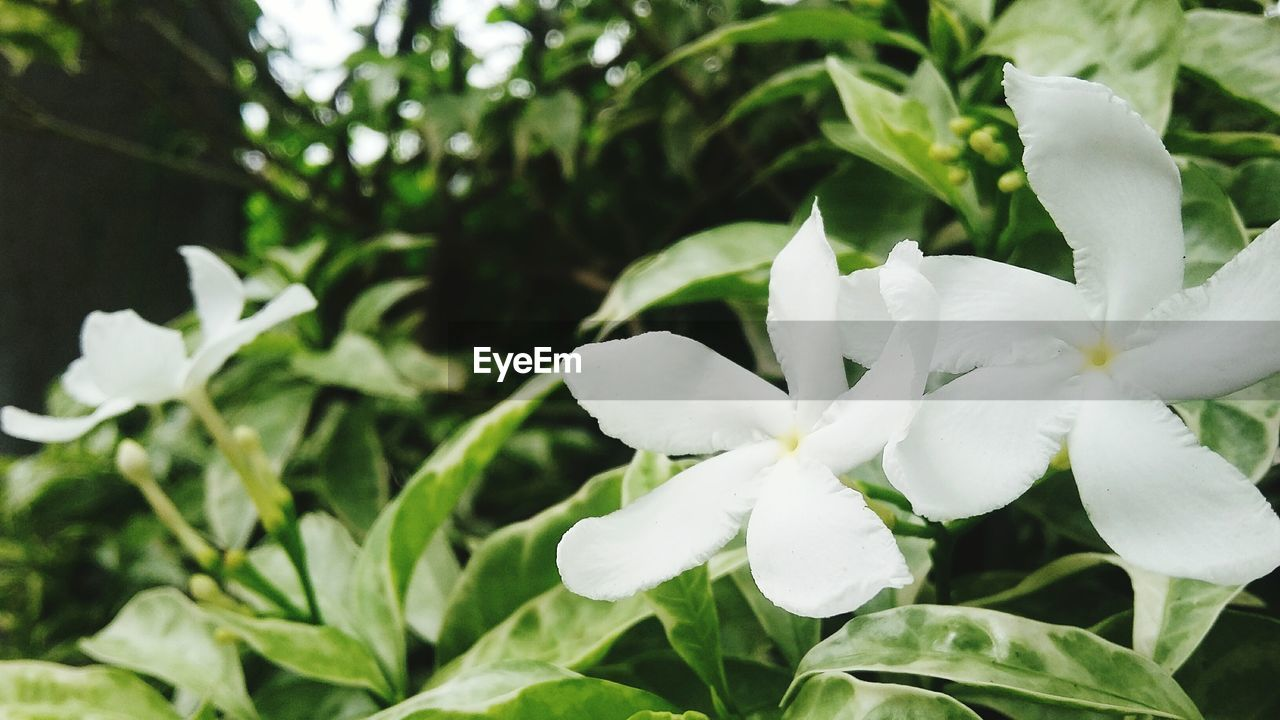 white color, nature, growth, beauty in nature, plant, flower, petal, freshness, no people, fragility, outdoors, leaf, blooming, close-up, day, flower head