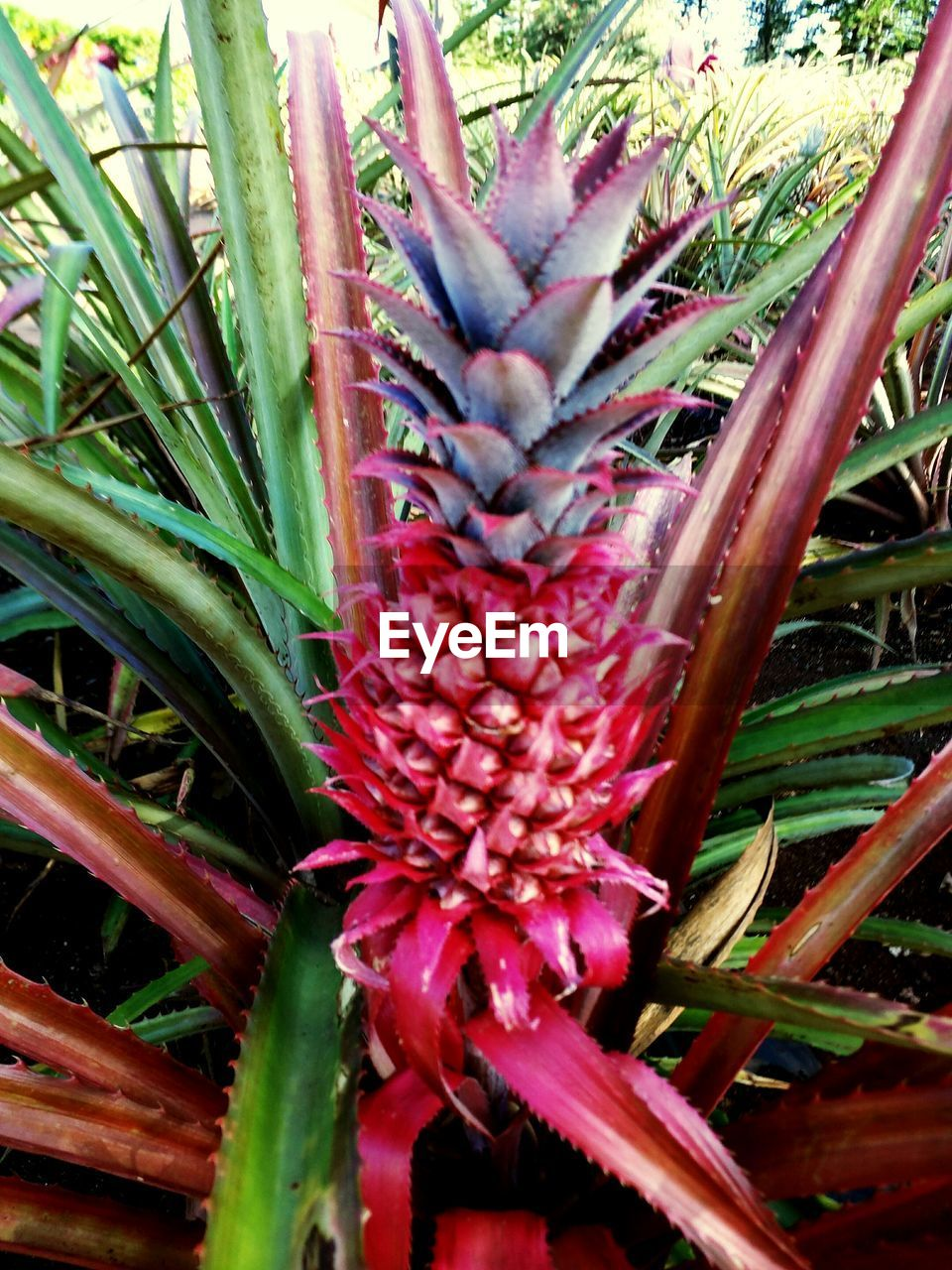 growth, nature, aloe vera plant, plant, green color, outdoors, beauty in nature, day, freshness, no people, flower, red, close-up