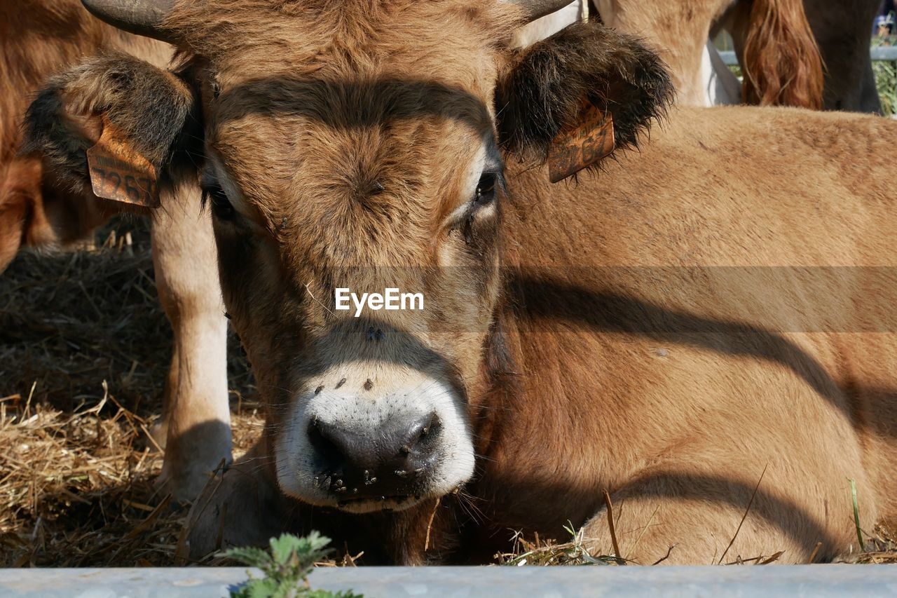 animal themes, mammal, animal, vertebrate, livestock, domestic animals, domestic, group of animals, pets, no people, animal body part, cow, animal head, cattle, day, portrait, brown, close-up, looking at camera, herbivorous, outdoors, snout, animal nose