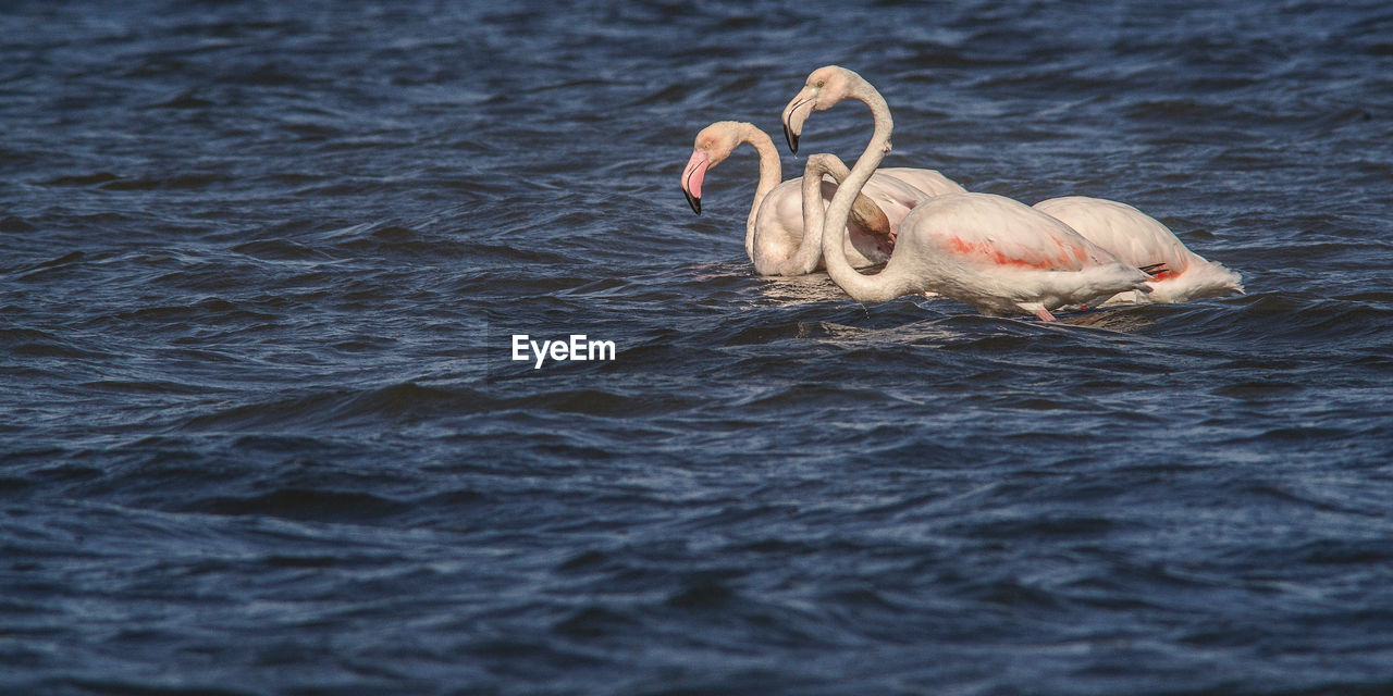 waterfront, water, animal themes, animals in the wild, nature, swimming, no people, animal wildlife, lake, day, outdoors, pelican, bird, beauty in nature, mammal, swan