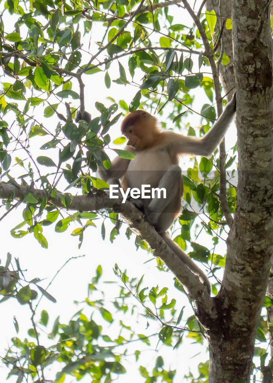 tree, plant, animals in the wild, one animal, animal wildlife, branch, animal, vertebrate, animal themes, primate, low angle view, monkey, nature, growth, day, mammal, no people, outdoors, leaf, sitting
