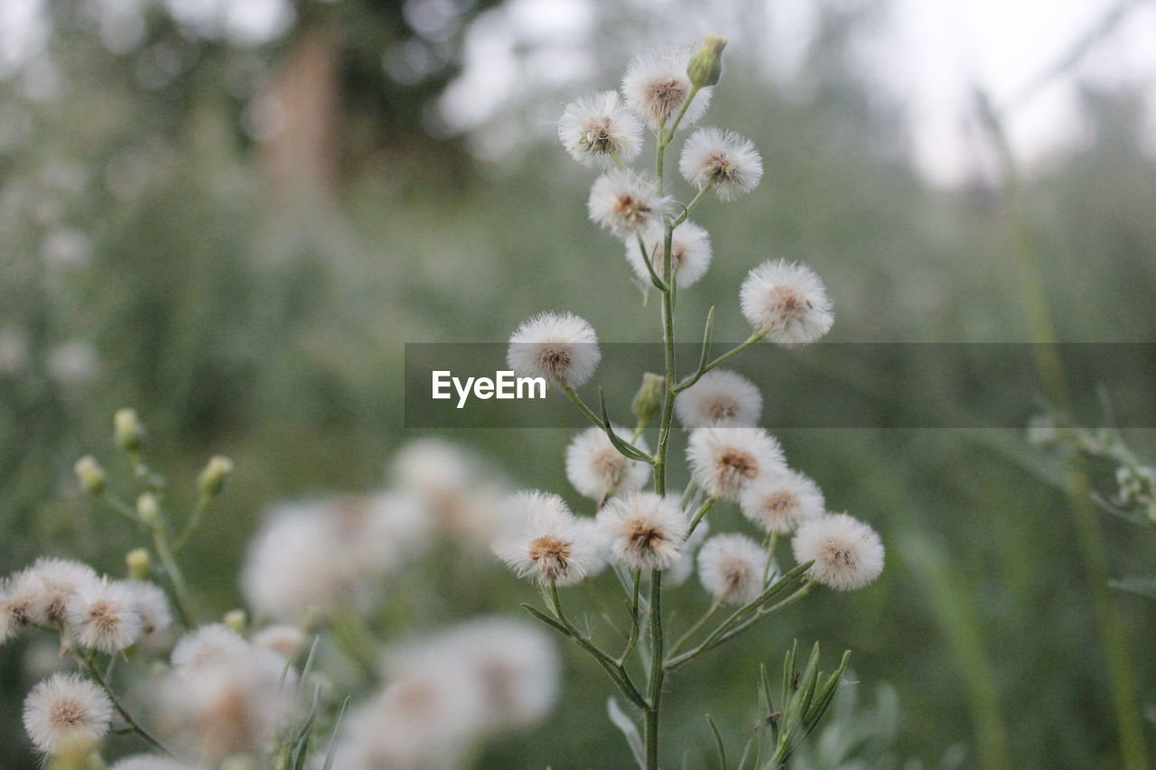 flower, flowering plant, fragility, plant, vulnerability, growth, freshness, beauty in nature, nature, day, white color, selective focus, close-up, no people, focus on foreground, flower head, land, field, tranquility, outdoors, springtime, softness, spring