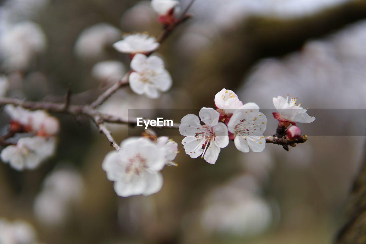flower, flowering plant, growth, freshness, plant, fragility, beauty in nature, vulnerability, close-up, petal, tree, blossom, flower head, nature, white color, springtime, branch, inflorescence, focus on foreground, selective focus, no people, outdoors, cherry blossom, pollen, cherry tree, bunch of flowers