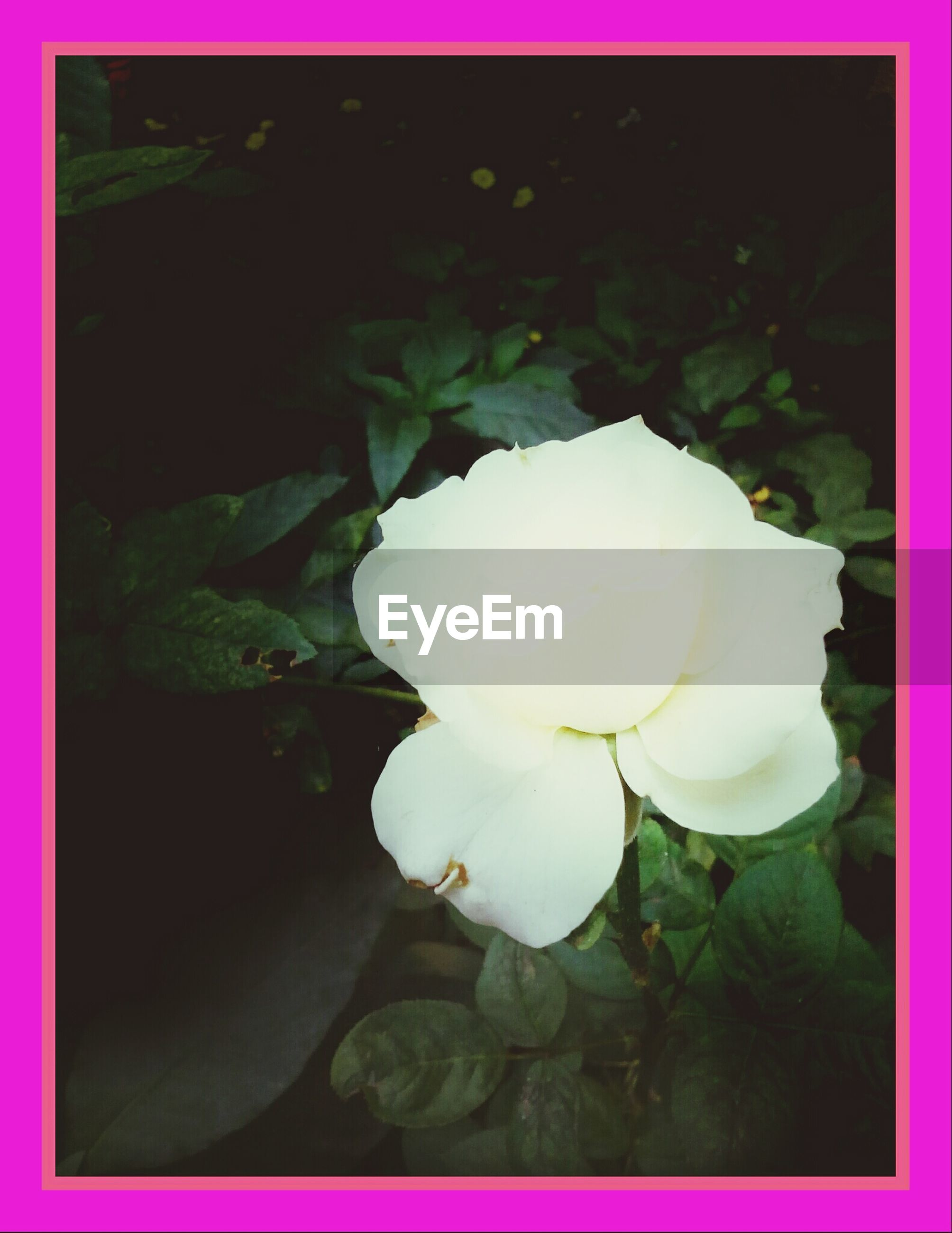 transfer print, flower, auto post production filter, petal, fragility, flower head, freshness, beauty in nature, growth, close-up, nature, blooming, plant, white color, single flower, in bloom, blossom, leaf, no people, rose - flower