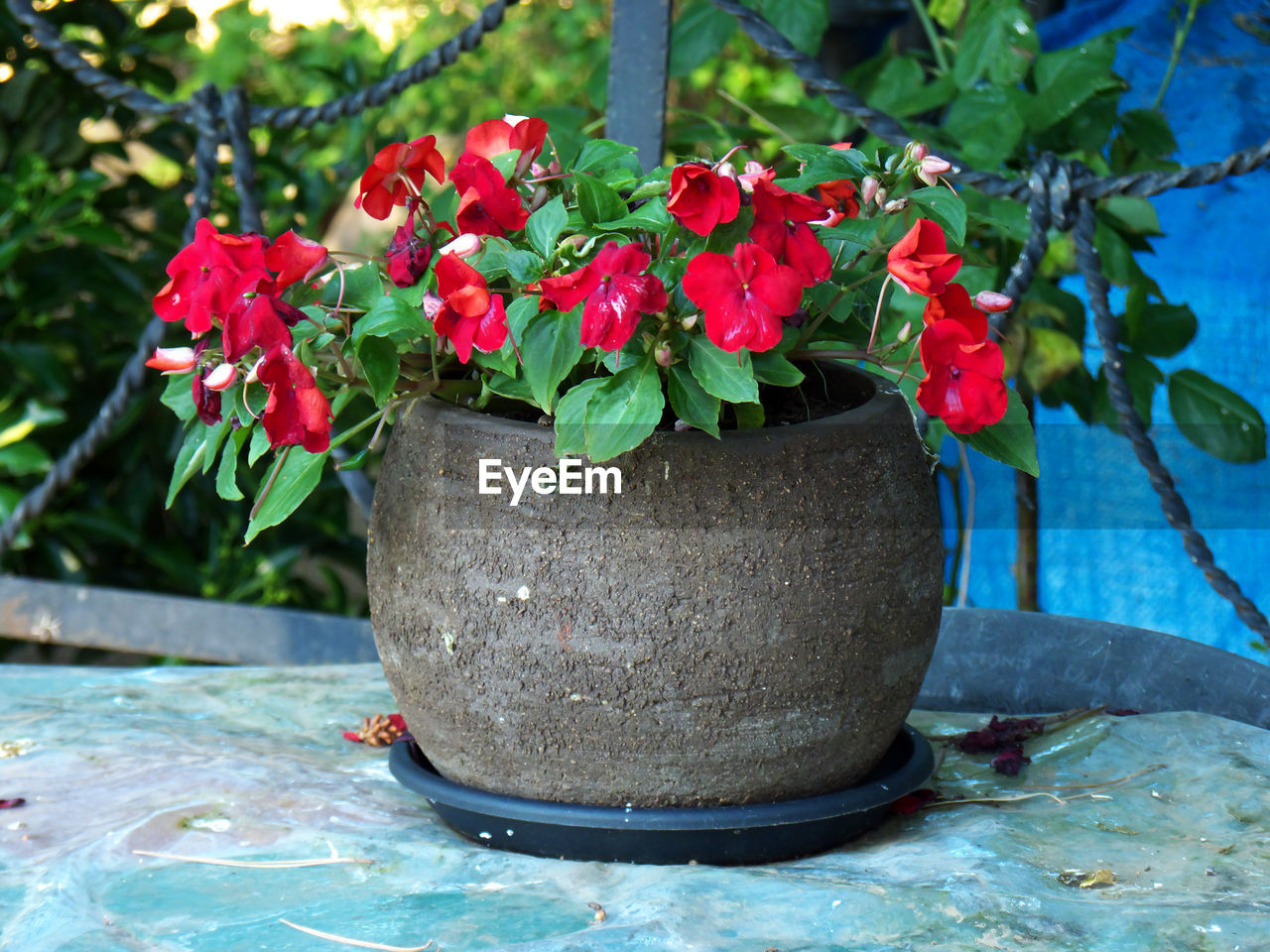 plant, nature, plant part, growth, leaf, red, no people, flowering plant, close-up, day, flower, potted plant, outdoors, beauty in nature, vulnerability, fragility, freshness, focus on foreground, green color, petal, flower pot