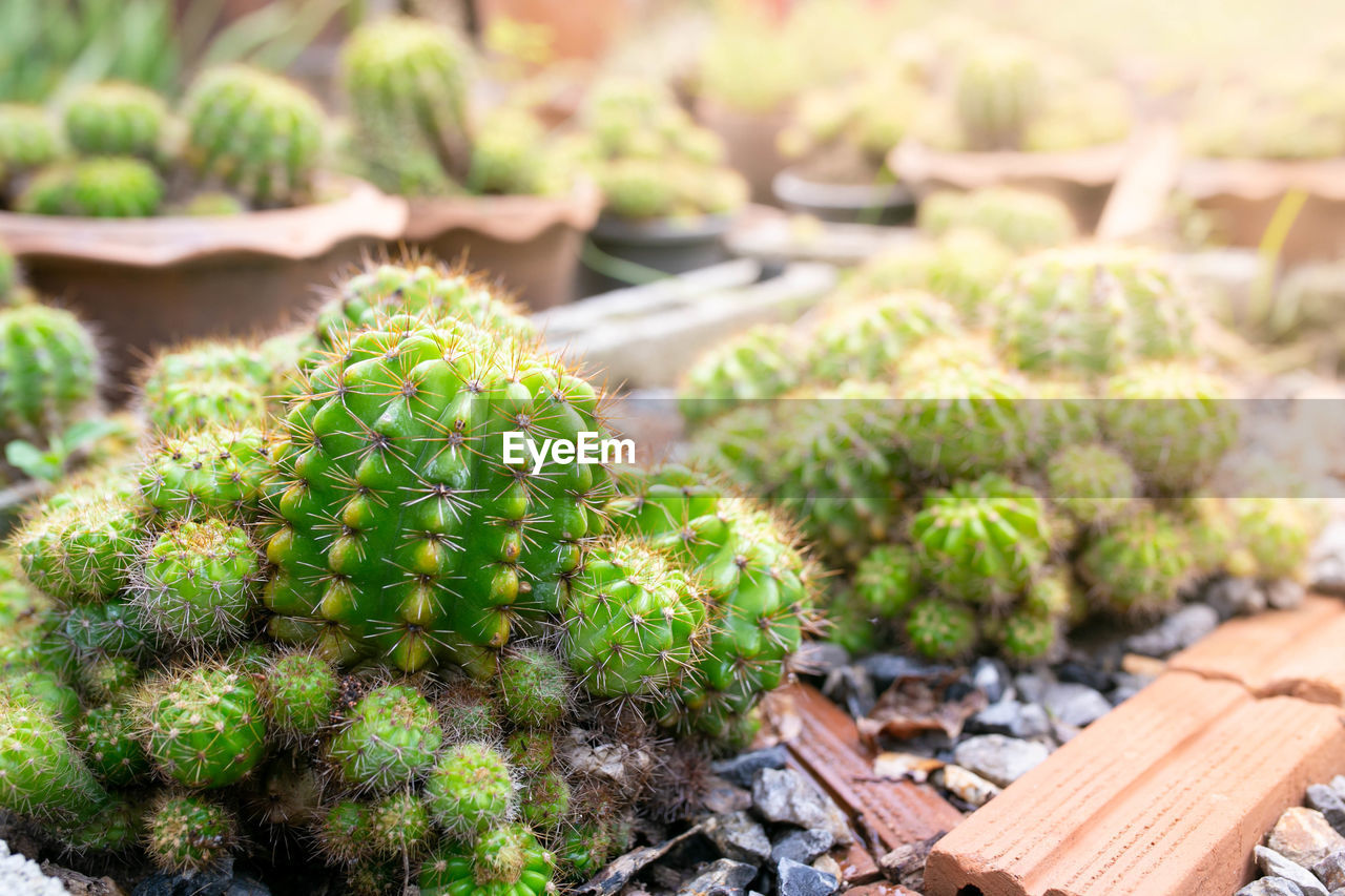 CLOSE-UP OF CACTUS GROWING ON POTTED PLANT AT FIELD
