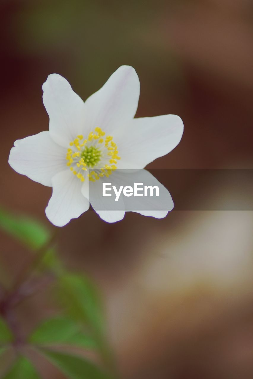 flowering plant, flower, fragility, beauty in nature, vulnerability, petal, freshness, plant, close-up, inflorescence, flower head, white color, growth, nature, no people, selective focus, pollen, focus on foreground, outdoors, springtime