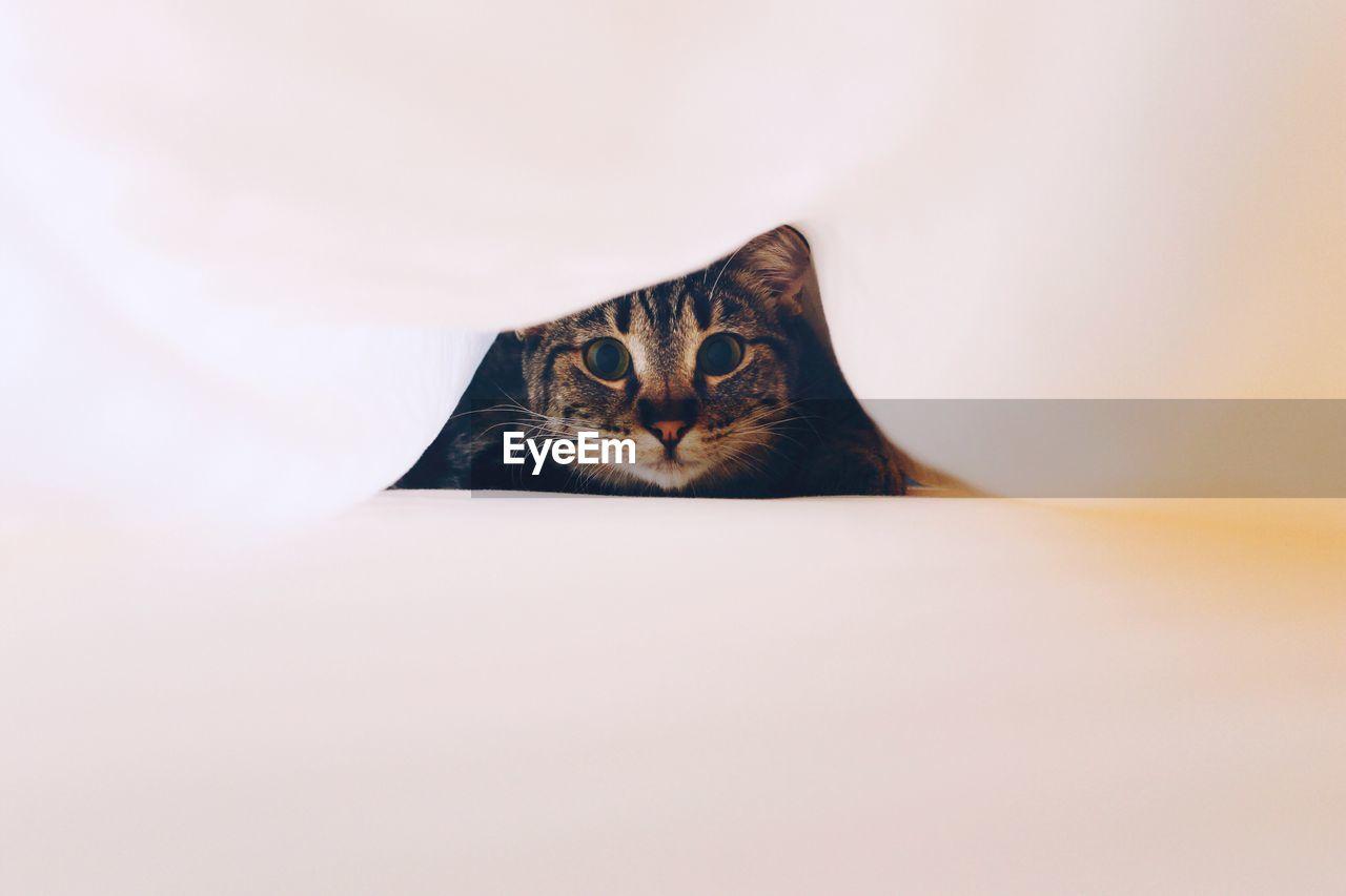 Curious Tabby Cat Looking At Camera