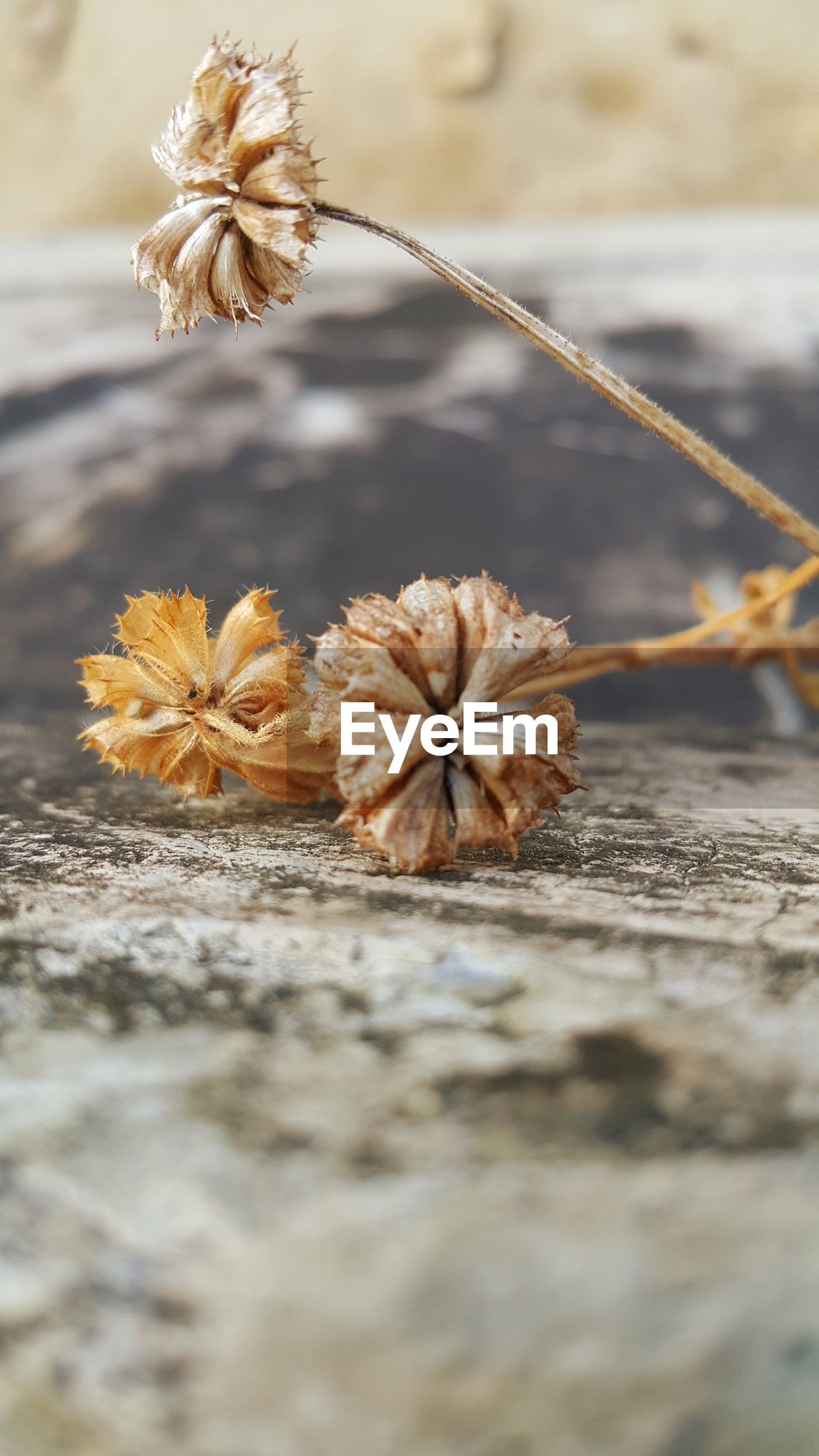 flower, fragility, close-up, focus on foreground, dry, nature, freshness, selective focus, plant, beauty in nature, stem, growth, season, yellow, water, petal, outdoors, no people, dead plant, day