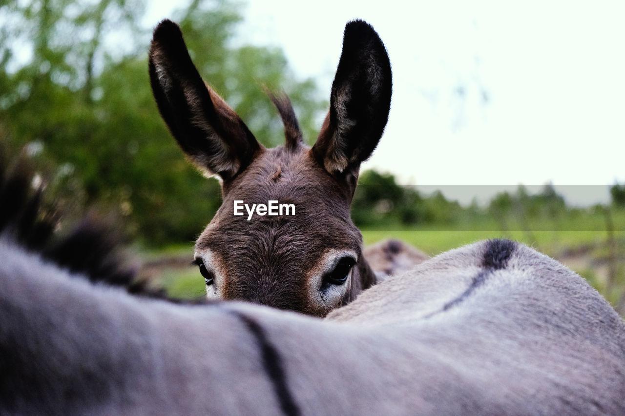 Close-up portrait of donkey on field