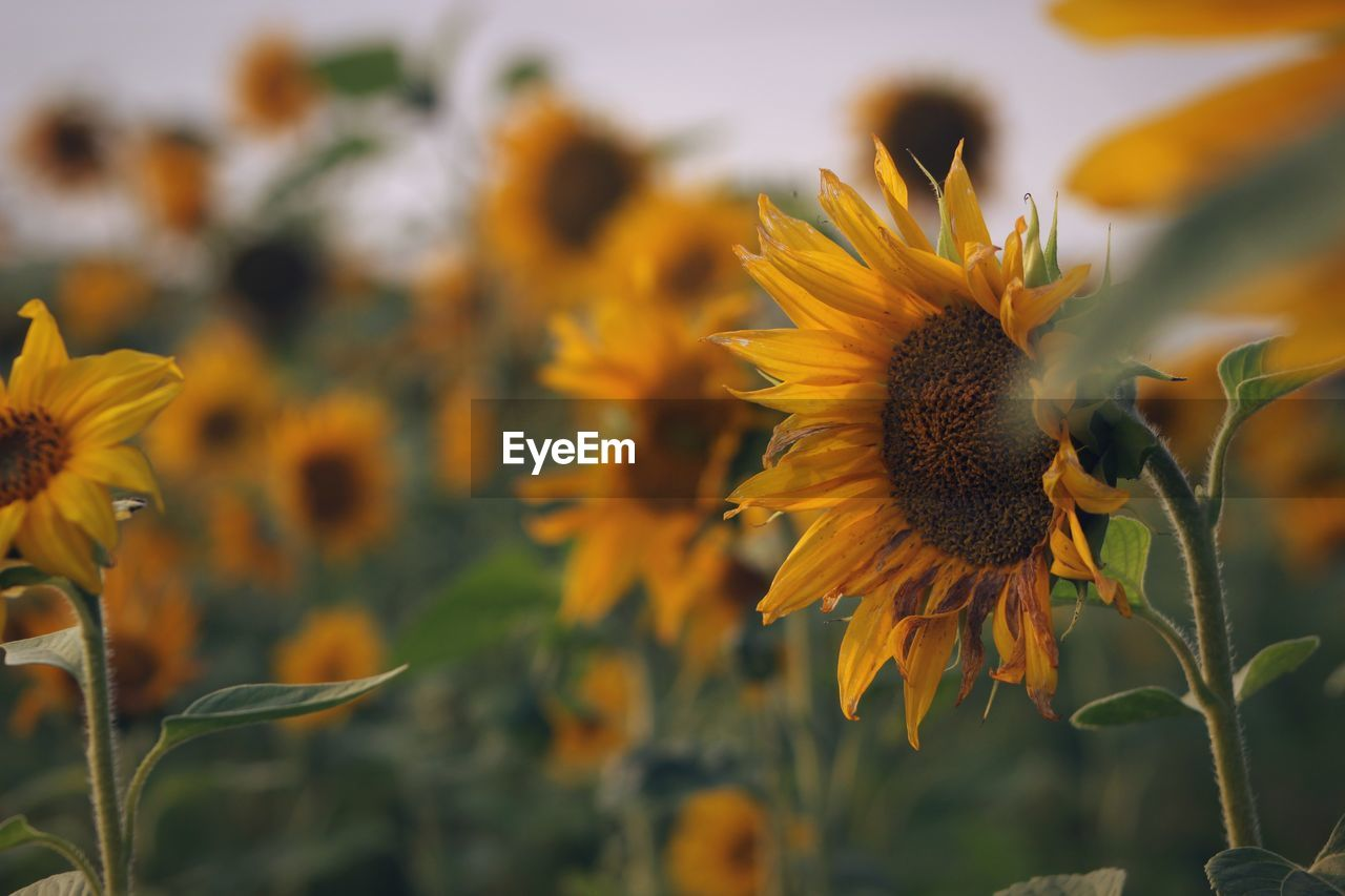 flower, flowering plant, fragility, growth, vulnerability, yellow, plant, beauty in nature, freshness, petal, flower head, close-up, inflorescence, focus on foreground, sunflower, pollen, nature, no people, coneflower, day, sepal, pollination