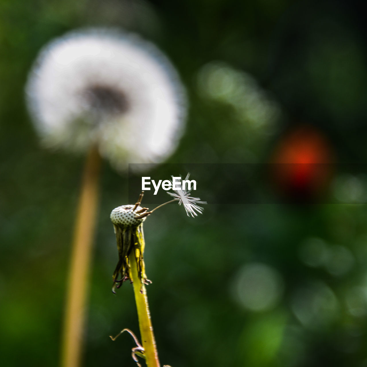 plant, growth, focus on foreground, flower, fragility, close-up, flowering plant, vulnerability, beauty in nature, day, freshness, no people, nature, invertebrate, insect, animal, selective focus, plant stem, animal themes, animals in the wild, outdoors, dandelion seed, flower head, softness