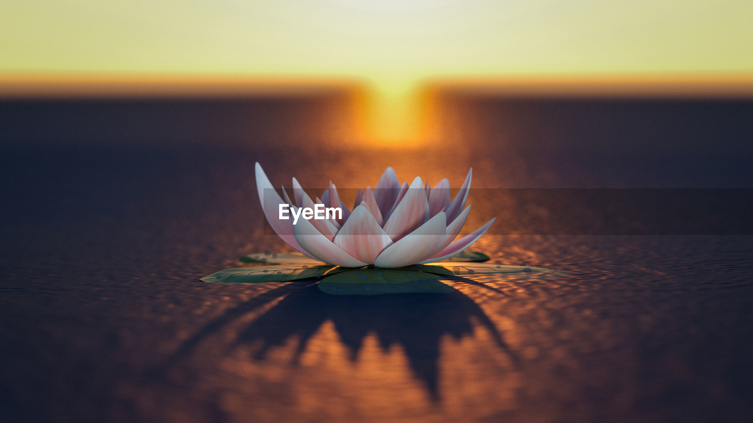 A mysterious lotus flower in the sunset