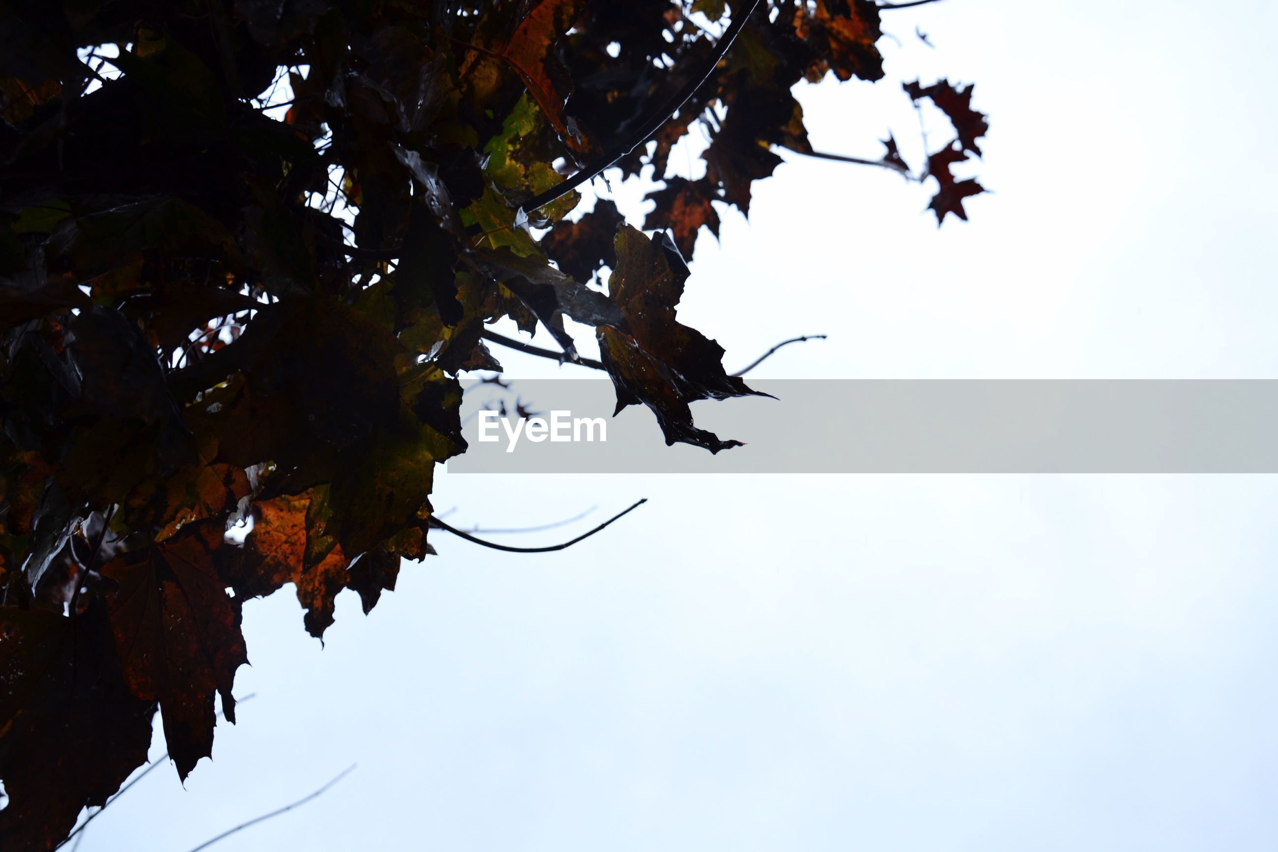 low angle view, tree, branch, sky, growth, nature, leaf, beauty in nature, clear sky, tranquility, silhouette, outdoors, day, no people, scenics, high section, blue, sunlight, treetop, twig