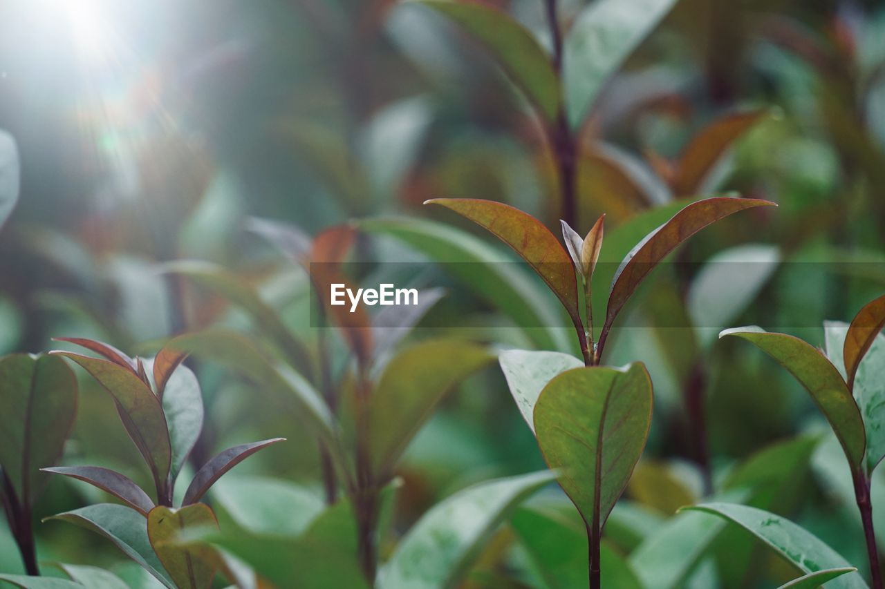 growth, plant part, leaf, plant, close-up, beauty in nature, nature, no people, day, focus on foreground, green color, outdoors, sunlight, freshness, vulnerability, selective focus, fragility, tranquility, flower, flowering plant, leaves