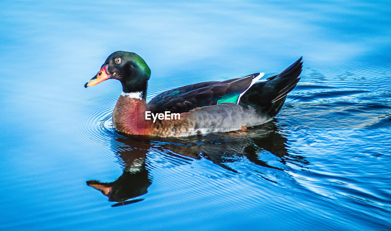 animals in the wild, one animal, duck, animal themes, mandarin duck, animal wildlife, water, lake, bird, swimming, no people, day, nature, waterfront, beauty in nature, outdoors, close-up