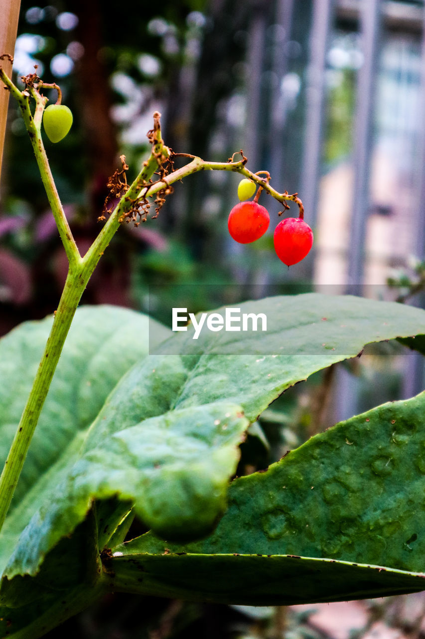fruit, growth, food and drink, red, focus on foreground, nature, food, outdoors, growing, leaf, day, beauty in nature, plant, freshness, healthy eating, green color, close-up, no people, tree