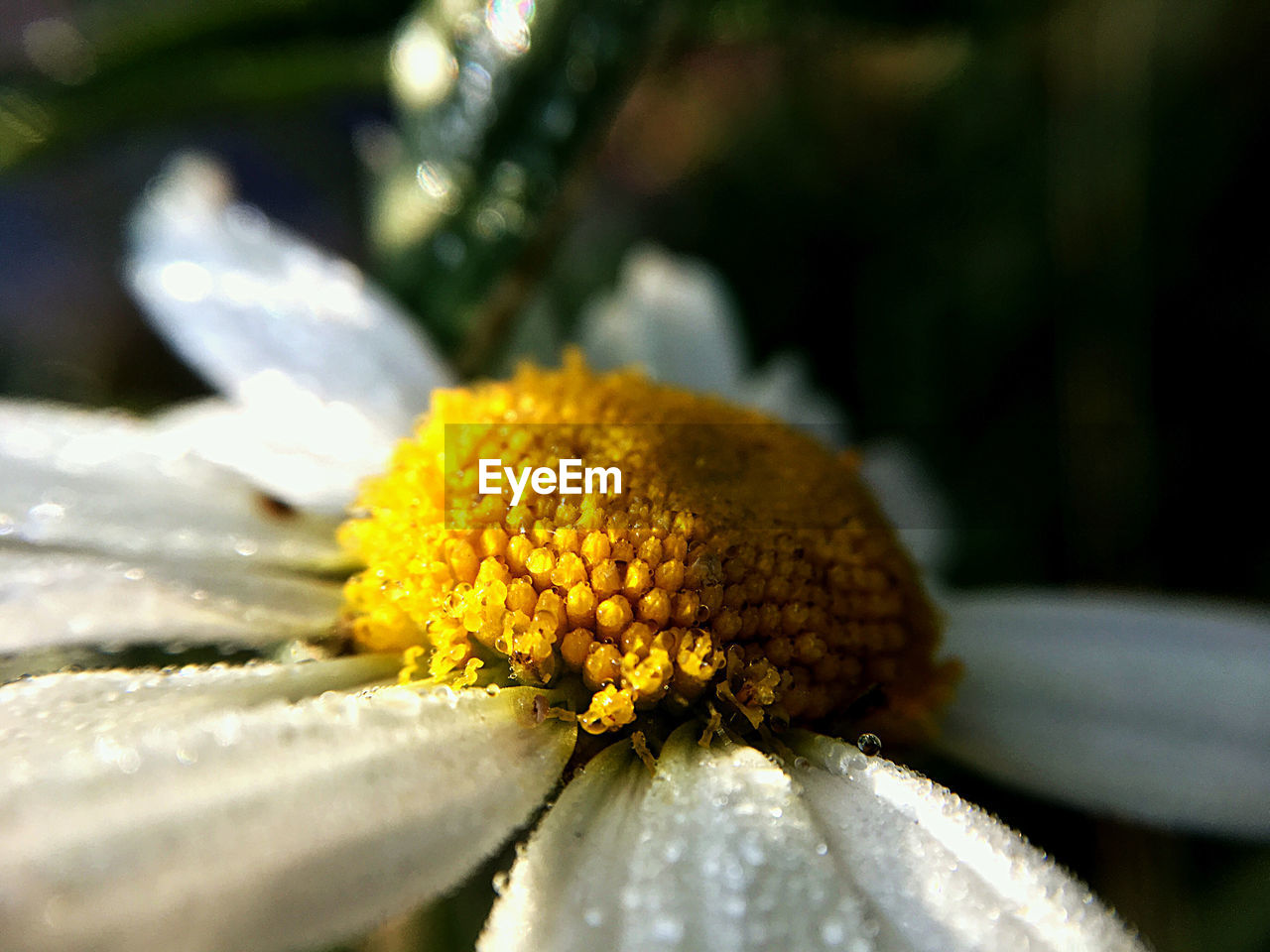 plant, flowering plant, flower, close-up, vulnerability, beauty in nature, fragility, growth, freshness, yellow, inflorescence, flower head, selective focus, nature, no people, day, petal, focus on foreground, pollen, outdoors