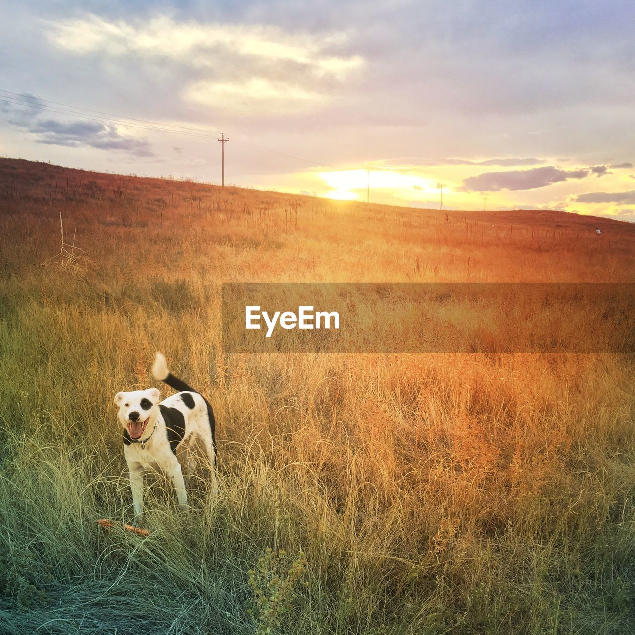 dog, one animal, sunset, animal themes, domestic animals, mammal, field, pets, grass, cloud - sky, sky, nature, outdoors, no people, landscape, beauty in nature, day
