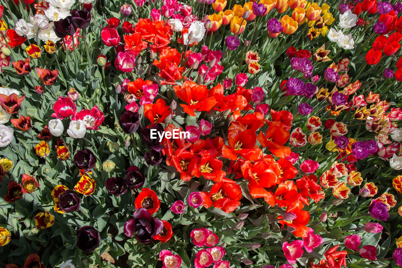 flowering plant, flower, freshness, vulnerability, fragility, beauty in nature, plant, flower head, inflorescence, multi colored, red, petal, growth, high angle view, no people, full frame, day, backgrounds, nature, close-up, outdoors, flower arrangement, bouquet, flowerbed