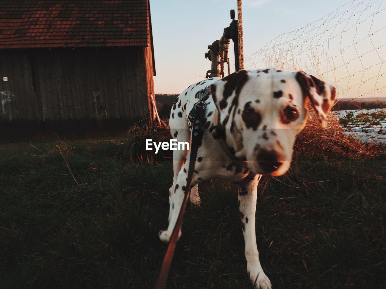 Dog looking away