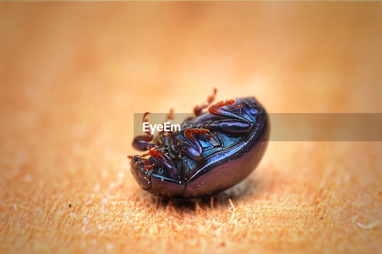 invertebrate, animal themes, insect, animal wildlife, animals in the wild, animal, close-up, one animal, selective focus, no people, day, nature, beetle, fly, zoology, outdoors, arthropod, brown, housefly, high angle view