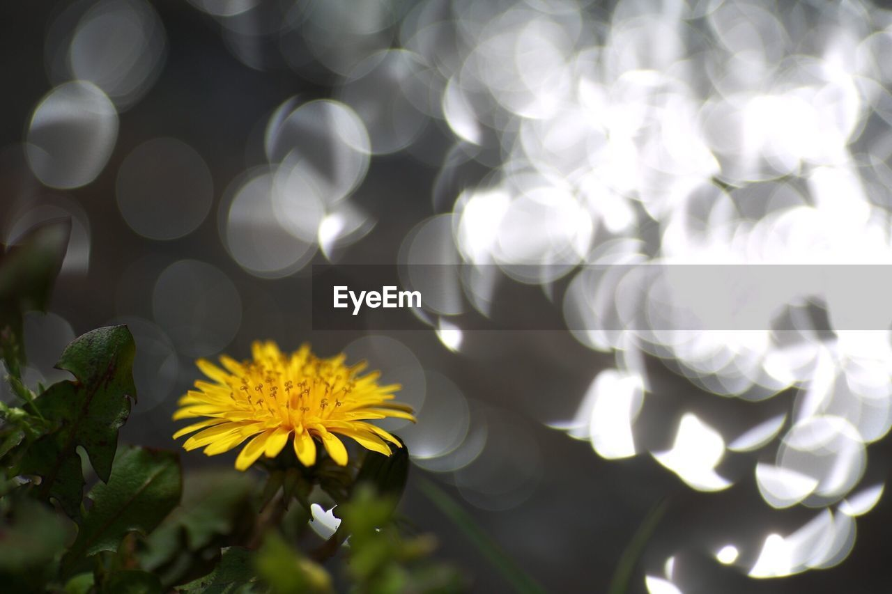 flower, flowering plant, plant, vulnerability, fragility, growth, freshness, beauty in nature, flower head, inflorescence, petal, close-up, yellow, nature, no people, outdoors, white color, daisy, focus on foreground, selective focus, pollen