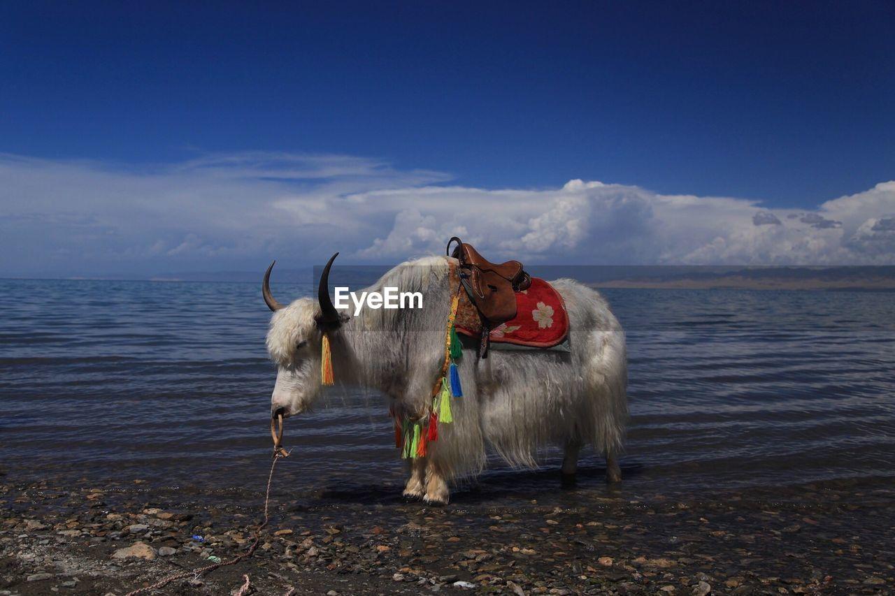 White Yak Standing On Shore At Qinghai Lake